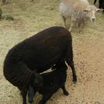 Black-ewe-lamb