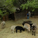Ewes-lambs