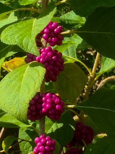 American Beautyberry-Callicarpa americana
